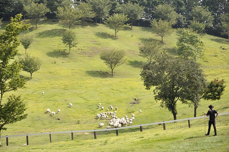 本場仕込みのシープドッグショーが人気!群馬県「伊香保グリーン牧場」に行こう