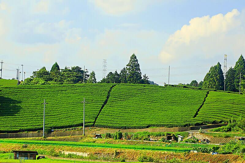 宇治田原・お茶畑