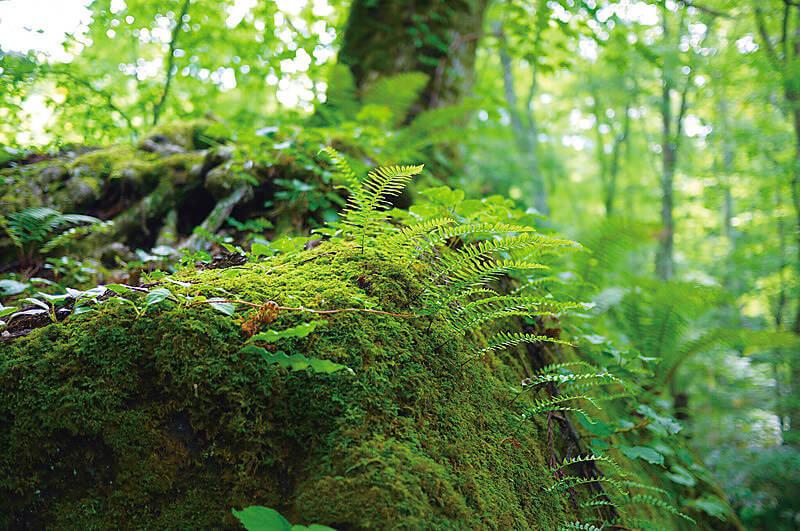 奥入瀬渓流の苔