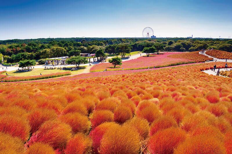 コキアの紅葉とコスモスが絶景!茨城県国営ひたち海浜公園の秋を彩るコキアカーニバル