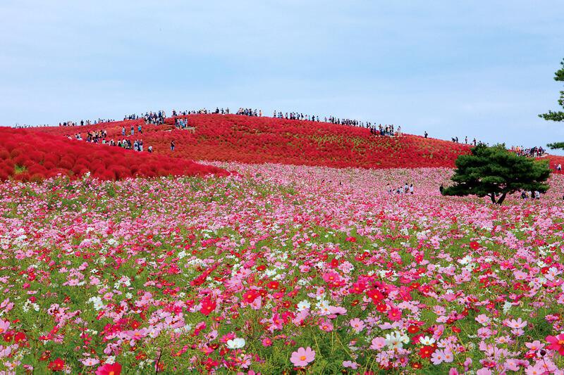 国営ひたち海浜公園 コキアの紅葉とコスモス