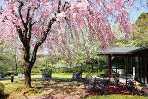 DIC川村記念美術館のしだれ桜とギフトショップ