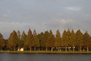 水元公園 メタセコイア