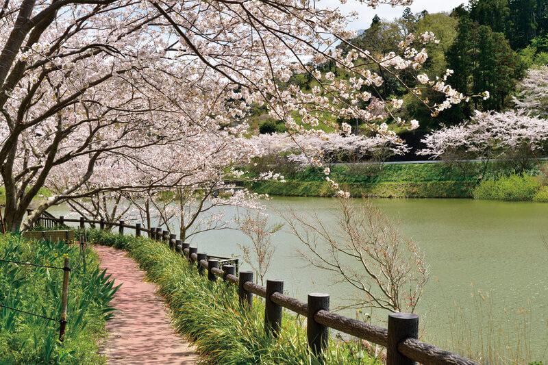 佐久間ダム 桜