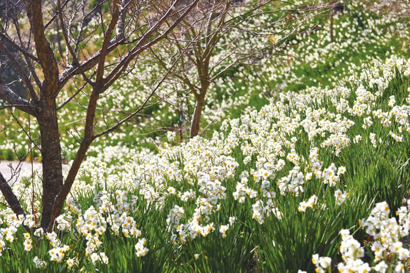 可憐な花が楽しめる♪千葉県の「をくづれ水仙郷」に行ってみよう!