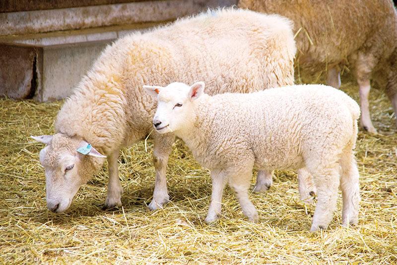 マザー牧場 羊の親子