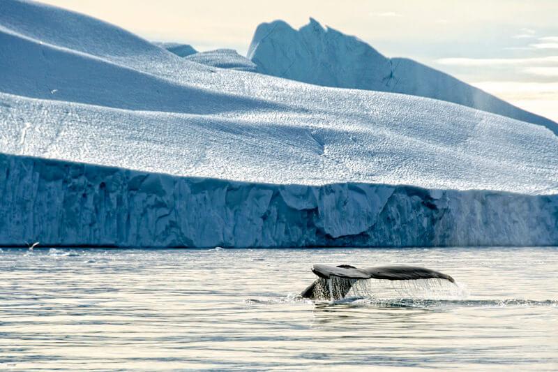 ザトウクジラと氷山 ディスコベイ グリーンランド