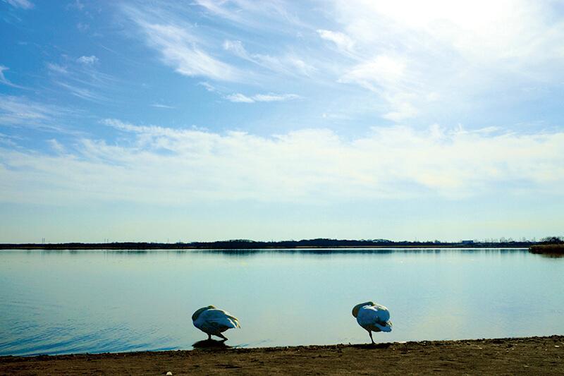 ウトナイ湖 二羽の白鳥が一休み