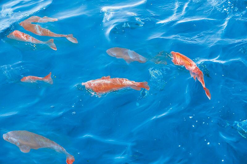 鯛の浦の鯛