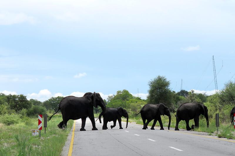 道路を横断する象