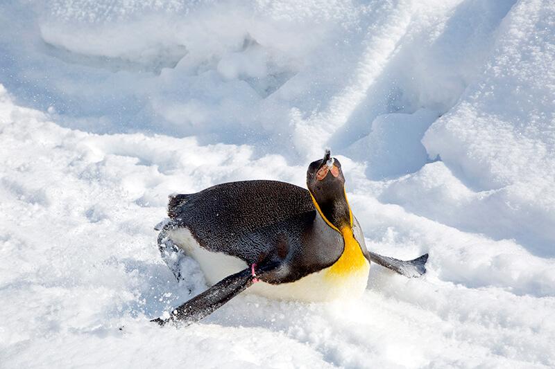 旭山動物園 ペンギンのトボガン広場