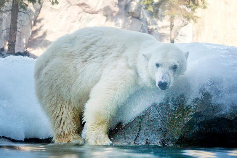 旭山動物園 しろくま