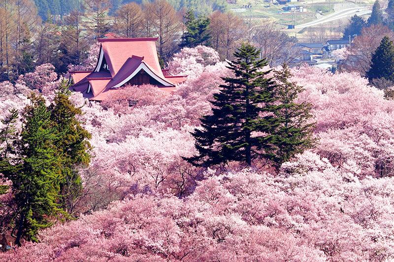 日本三大桜名所のひとつ、天下第一の桜と称される長野県伊那市の高遠城址公園