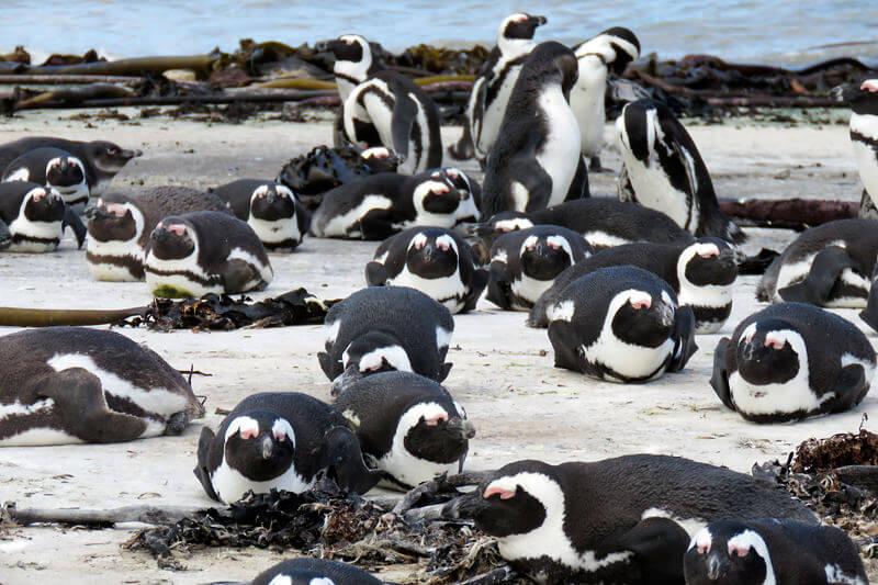 ベティーズベイのペンギン