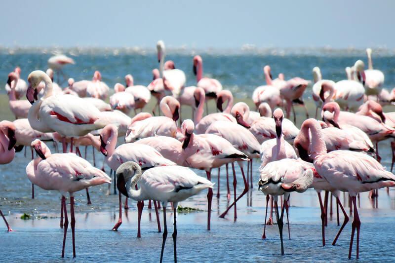 ナミビア・ウォルビスベイのフラミンゴ