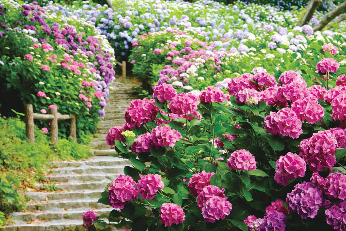 市の花「あじさい(下田公園)」