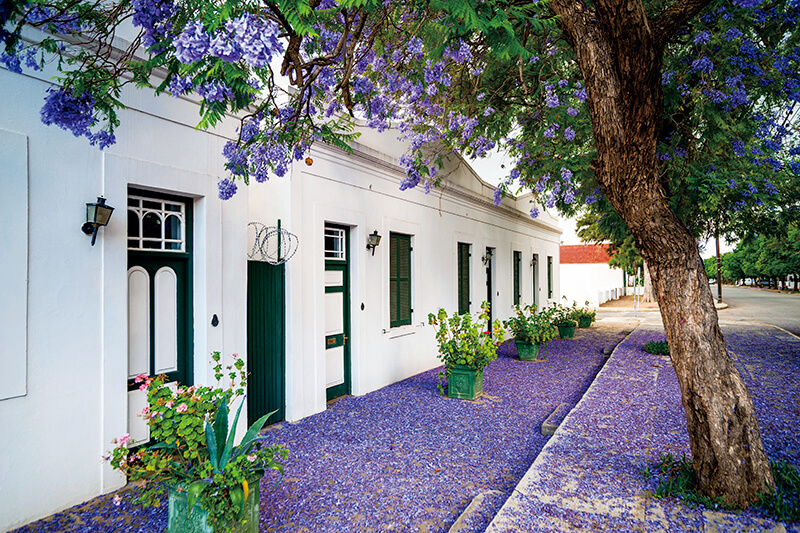 ジャカランダ 南アフリカ