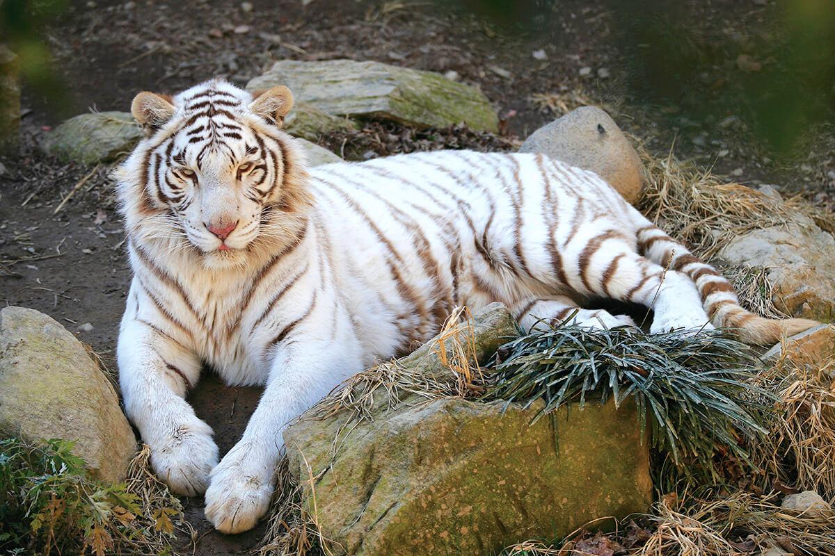 群馬サファリパーク ホワイトタイガー