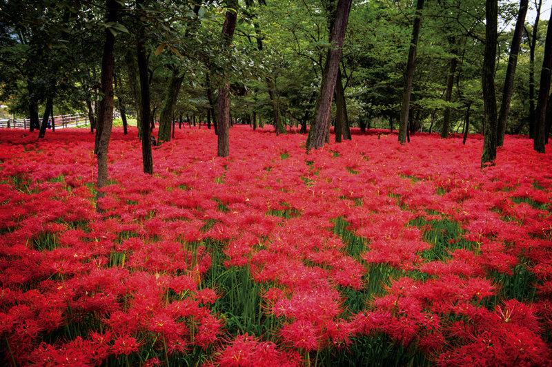 """7月の誕生石は""""ルビー"""" 日本各地のルビー色の景色をご紹介します。"""
