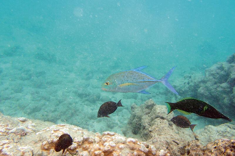ハワイオアフ島・ハナウマ湾で見られる魚