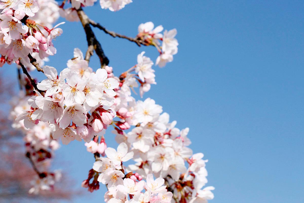 巾着田 桜