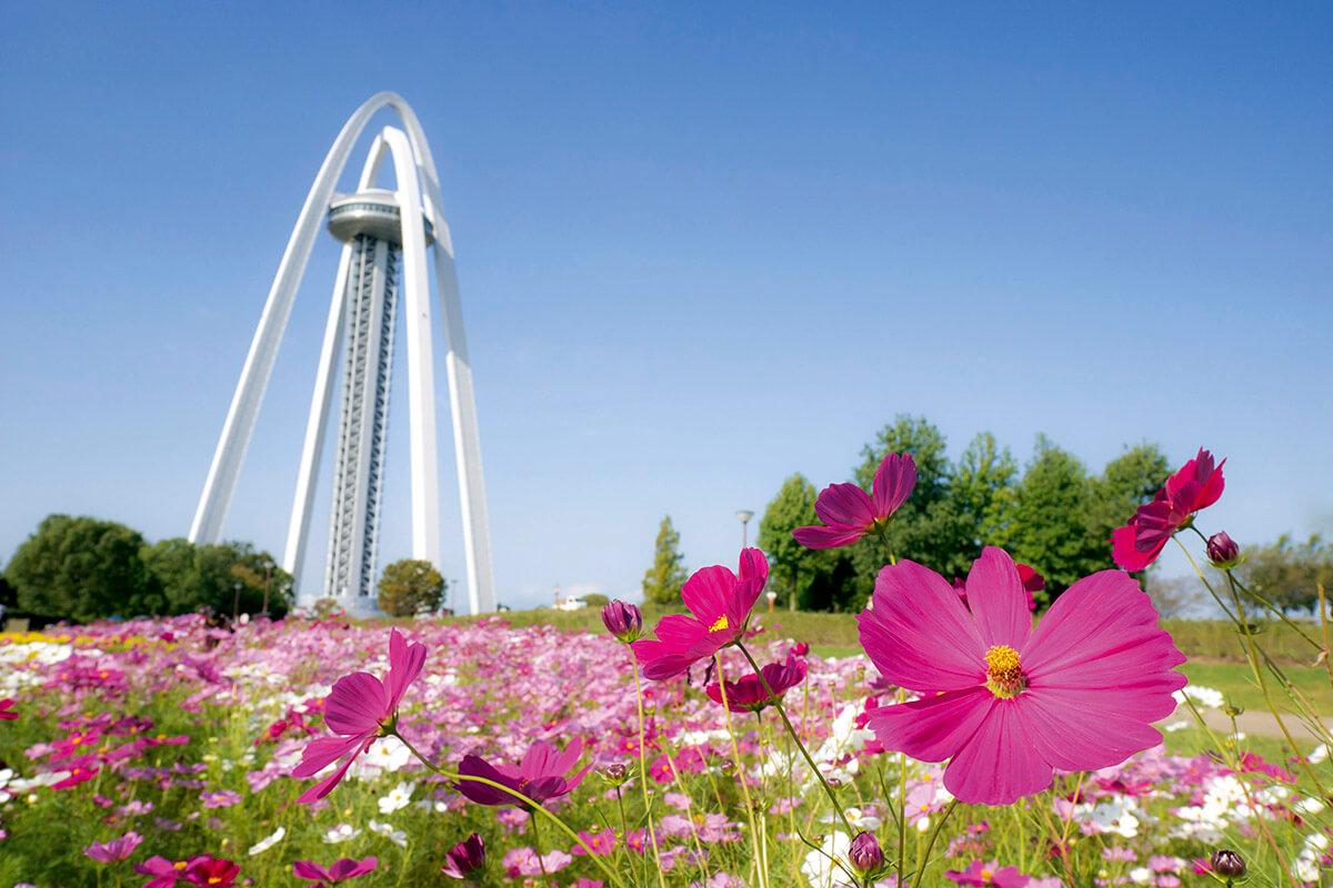 木曽三川公園 138タワーパークのコスモス
