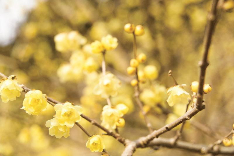 真冬に咲く花・ロウバイを見ませんか? 埼玉県長瀞町の「長瀞ロウバイまつり」で一足早い花見をしよう!!