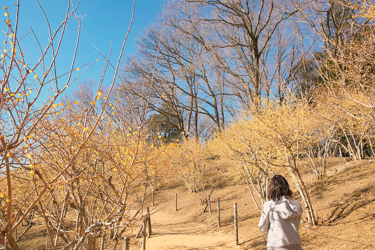 宝登山 ロウバイ園