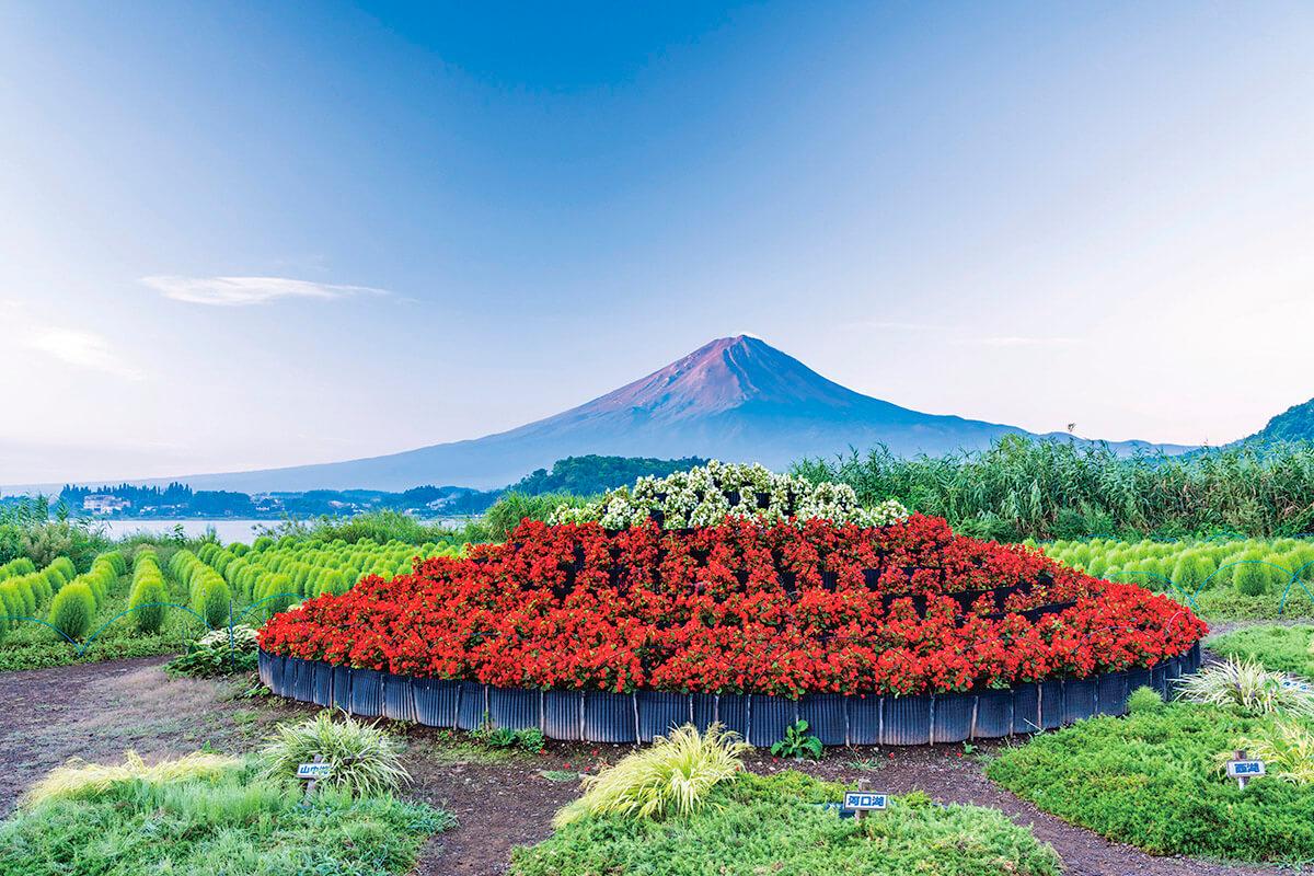 大石公園 ベゴニアの花小富士