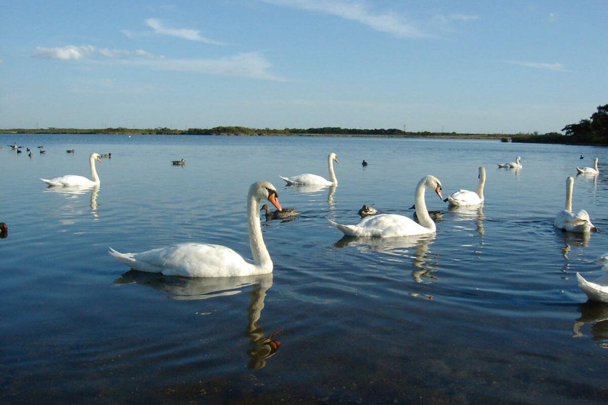 ウトナイ湖 白鳥