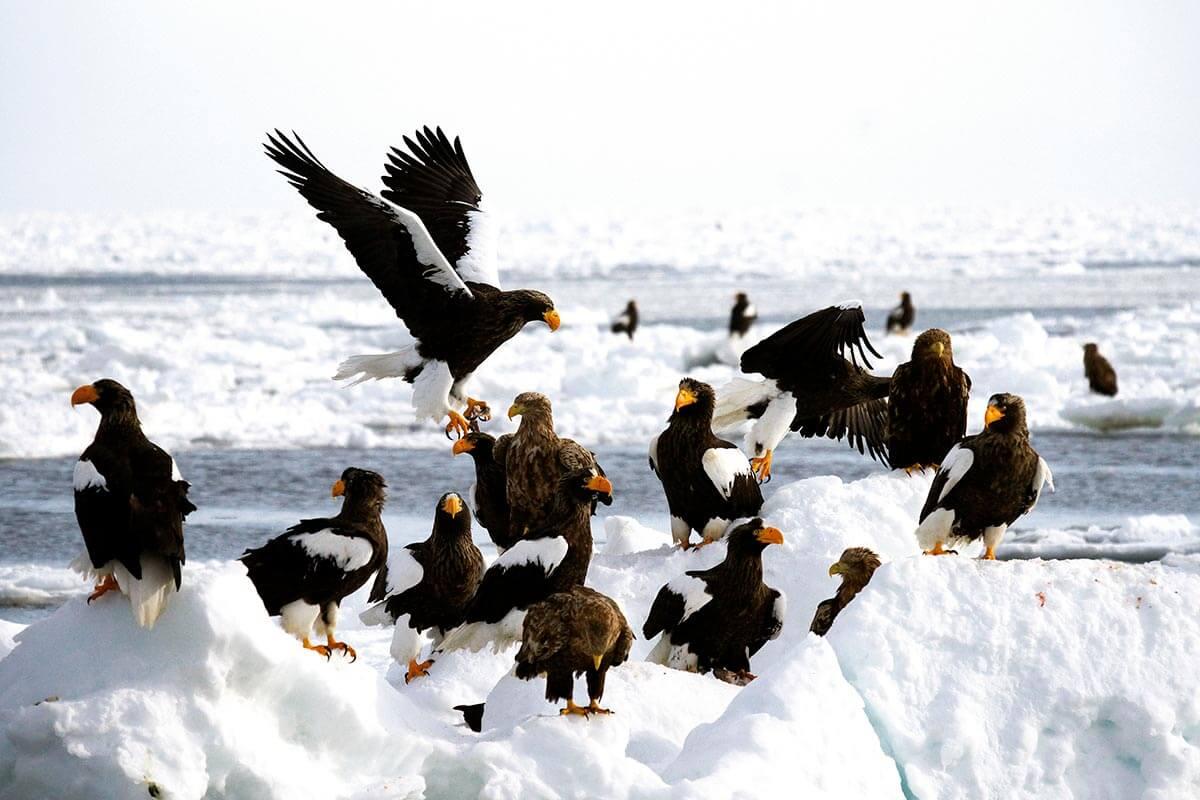 流氷の上空を舞うオオワシやオジロワシ