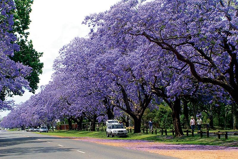 10月からが見ごろ!! 美しすぎる紫のさくら「ジャカランダ」を見に行こう。