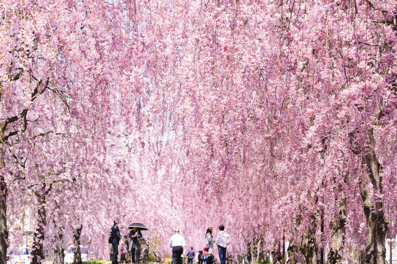 福島県喜多方市の桜スポット「日中線記念自転車歩行者道」でしだれ桜並木を楽しもう!