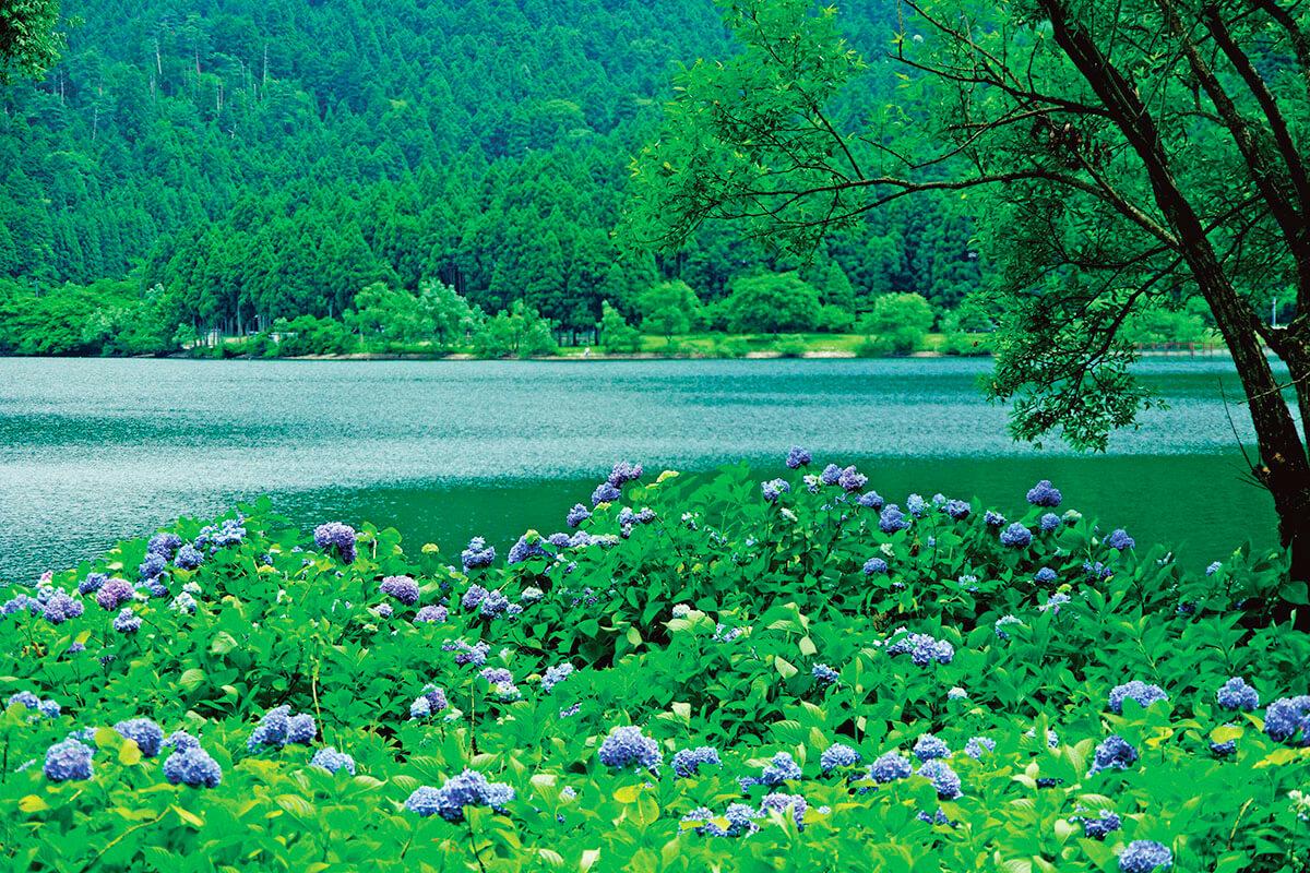 余呉湖 あじさいの季節