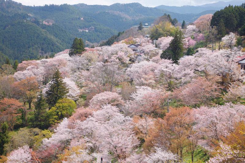奈良県 吉野山の「千本桜」はまさに圧巻!! ピンクに染まる山の動画と紫陽花や紅葉、雪景色もご紹介します