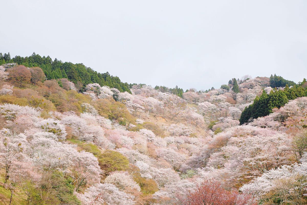 吉野山 中千本(2015年)