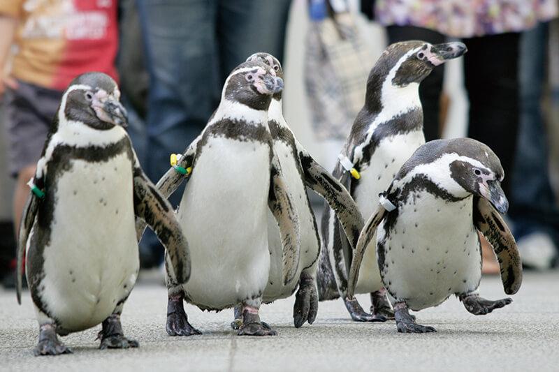 城崎マリンワールド ペンギンの散歩