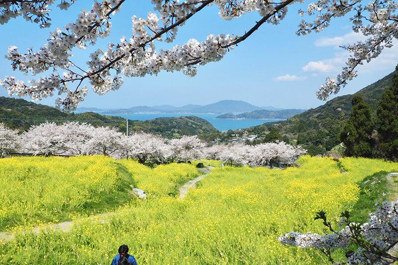 加茂ゆらりんこ橋周辺のお花見スポット photo by マッキー