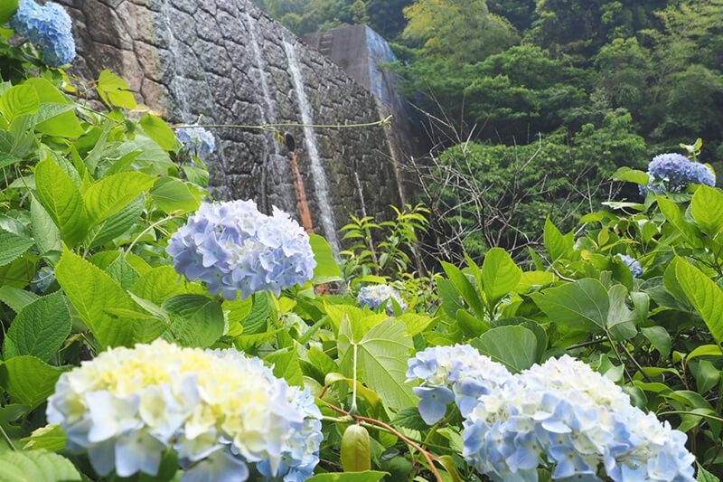加茂ゆらりんこ橋周辺で咲き乱れる紫陽花 photo by マッキー