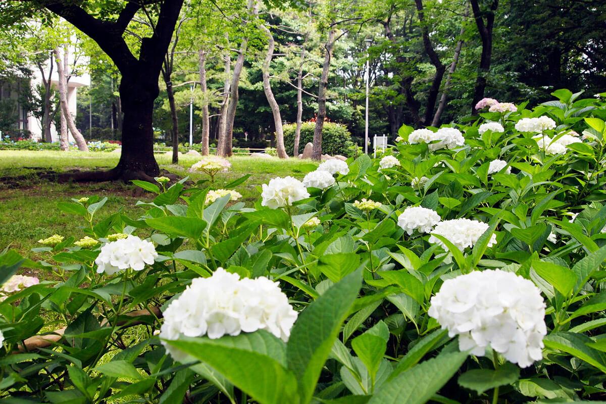 有栖川宮記念公園・アジサイ