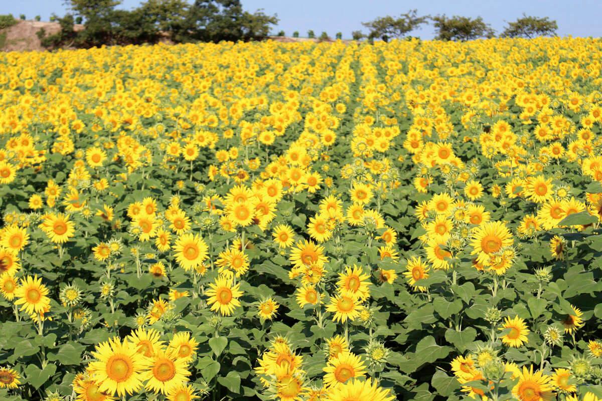 観光農園 花ひろば ひまわり畑