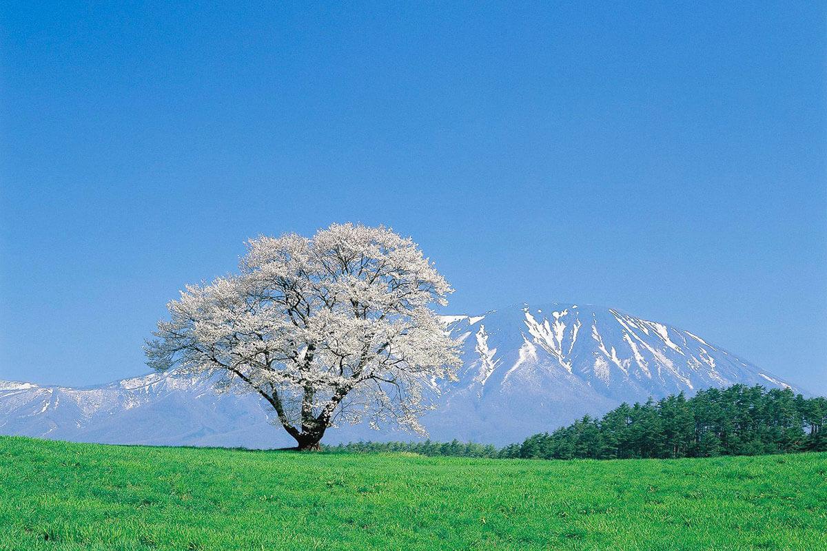 小岩井農場 一本桜