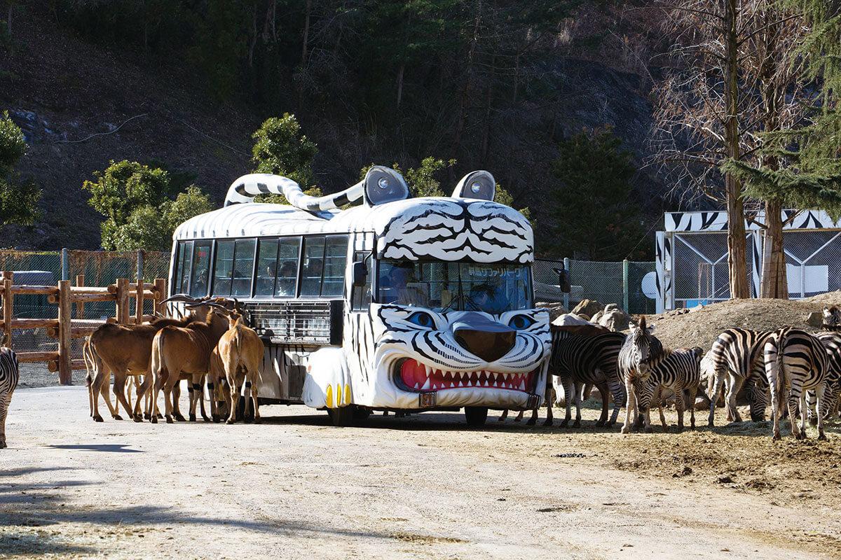 エサやり体験バス(ホワイトタイガー)