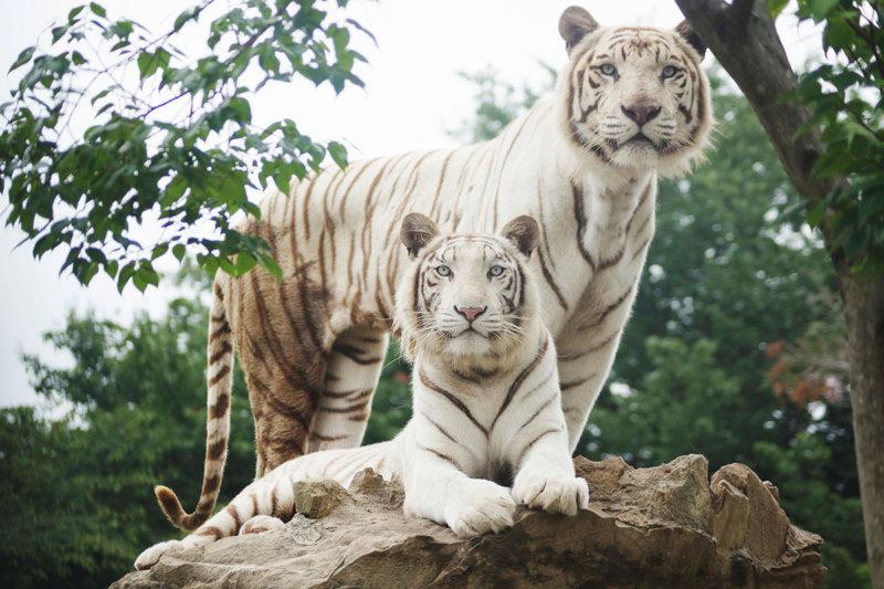 野生の王国®群馬サファリパークへ行こう! 日本唯一のスマトラゾウや人気のホワイトタイガーなど珍しい動物がいっぱい