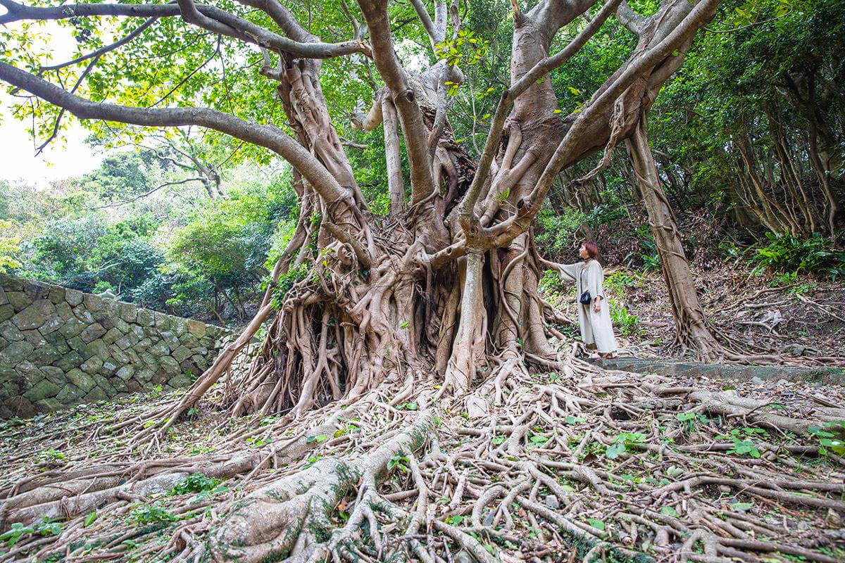 玉之浦のアコウの木
