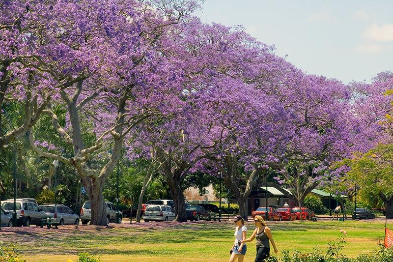 ジャカランダ オーストラリア